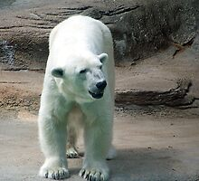 Polar Bear smile by Linda Sannuti