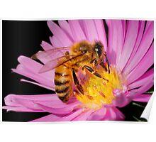 DOMESTIC HONEY BEE Poster