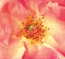 Pink Sugar by Katja Bardos