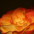 Orange Firery Rose by RockyWalley