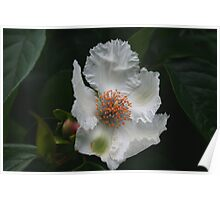 Silky Camelia Poster