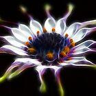 Osteospermum by Darren Post