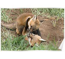 Wrestling fox kits Poster