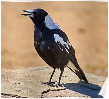 Australian Magpie Poster