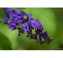 Purple Butterfly Bush Blossom Photographic Print