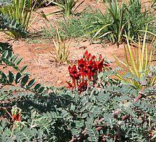 Sturts Desert Pea by JimBob51