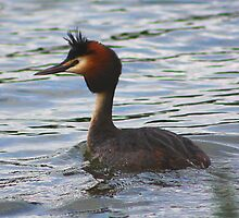Great Crested Grebe......... by jdmphotography
