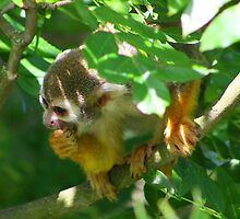 Squirrel monkey.......... by jdmphotography