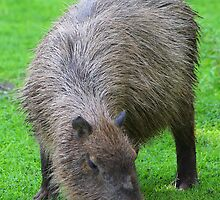 Capybara.... by jdmphotography