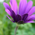petals purple by Jan Stead JEMproductions