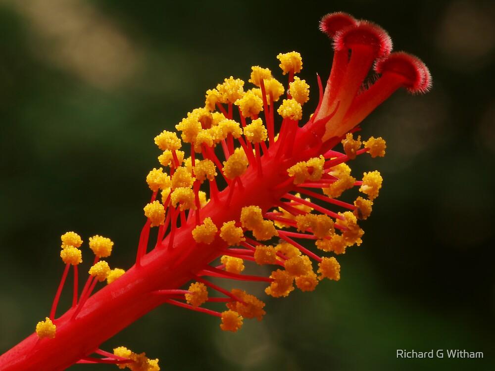 Crimson Blush by Richard G Witham