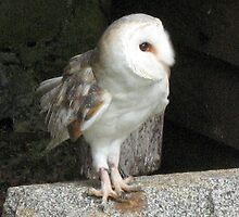 A Barn Owl Named Plop by jacqi
