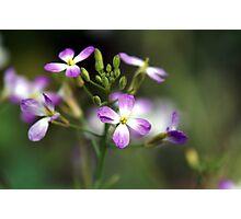 Radish Flower Photographic Print