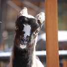 smilin goat by Amanda Huggins