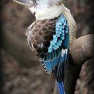 Blue Wing Kookaburra by Rookwood Studio ©