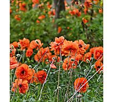 Field of Orange Photographic Print