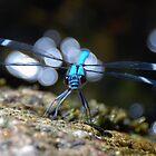 Buffalo Dragonfly by wondawe