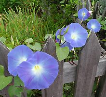 Morning Glories by Tom  Reynen
