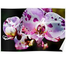 Spotty Orchid Poster