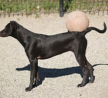 black dog & ball by andymars