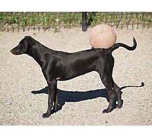 black dog & ball Photographic Print