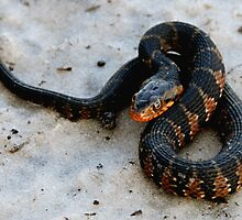 Florida Banded Watersnake by Rebecca Cruz