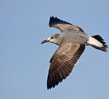 Juvenile Gull by David Linkenauger