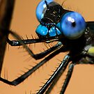 Lil' Blue Eyes - - Archilestes grandis  (Great Spreadwing damselfly) by Dennis Jones - CameraView