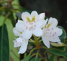 Mountain Laurel by ronibgood