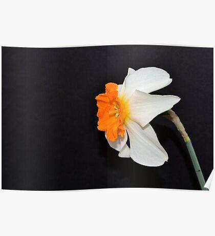 Daffodil Profile Poster