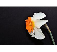 Daffodil Profile Photographic Print