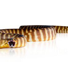 Woma Python [Aspidites ramsayi] by Shannon Benson
