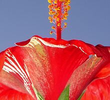 Tropical Red Hibiscus Flower Against Blue Sky by taiche