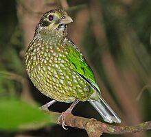 Spotted Catbird  by Robert Elliott