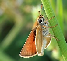 Common Branded Skipper by BigD