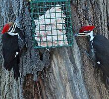 Pileated Woodpecker - Pair - Dryocopus pileatus  by MotherNature