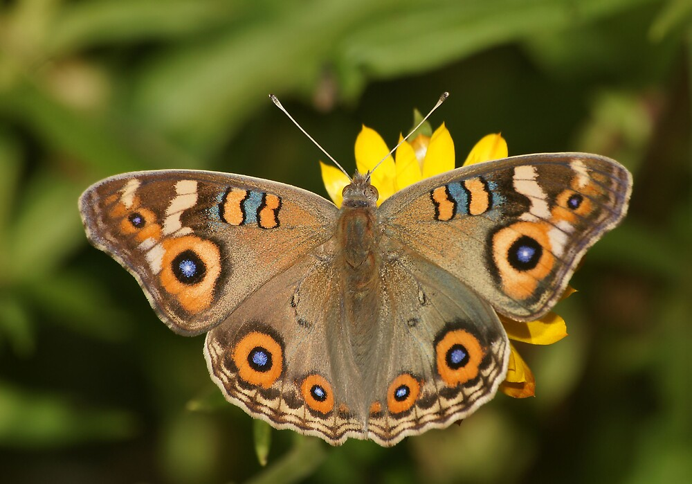 Meadow Argus by David Cook