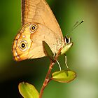 Brown Ringlet by David Cook