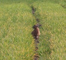 Hare in Wheatfield by lpleeds5