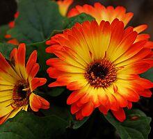 Gerbera Daisy by Sandy Keeton