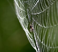 Spider After the Rain by patti4glory