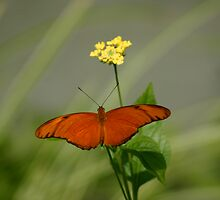 Julia Butterfly in Meadow by patti4glory