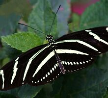 Zebra Longwing by Anne-Marie Bokslag