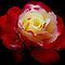 Carol&#x27;s Rose... by LjMaxx