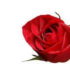 Wet Rose by Norbert Rehm
