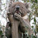 Koala 2 by Jacqueline  Murphy