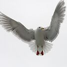 The Ballerina  ~ Glaucous-winged Gull by Robert Elliott