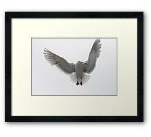 The Ballerina  ~ Glaucous-winged Gull Framed Print