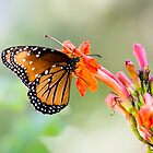 Queen Butterfly (Danaus gilipus) by Robert Kelch, M.D.