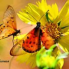 BUTTERFLY SERIES - Natal Acraea by Magaret Meintjes